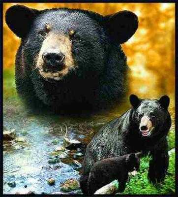 Bear Blanket Throw Tapestry Black Bear At Anwo Animal World 174